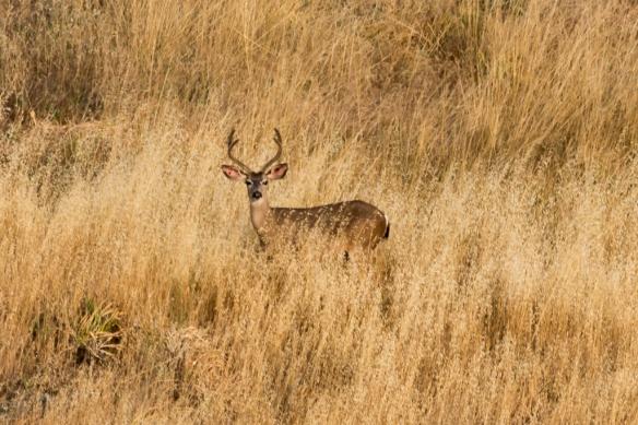 Mule deer buck in Calero park hills