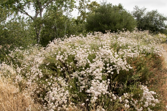 campbell creek trail-wild buckwheat in flower