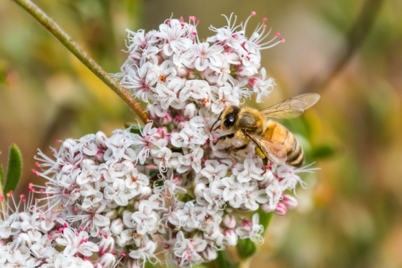 campbell creek trail-honeybee working wild buckwheat