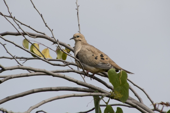 campbell creek trail-mourning dove