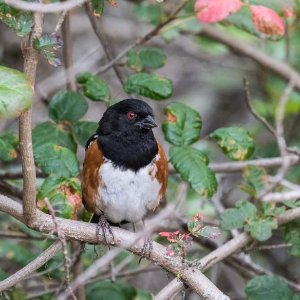 spotted towhee male in poison oak