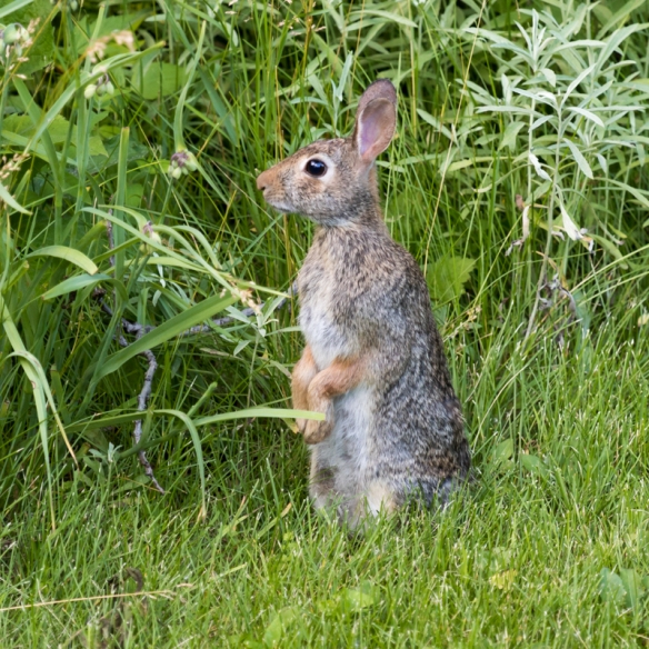 eastern cottontail rabbit-