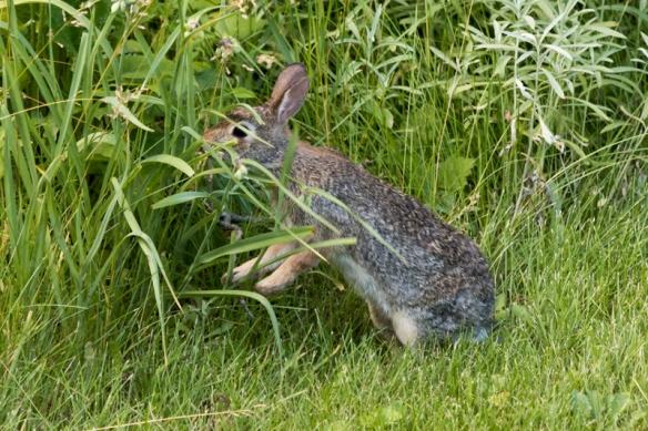 eastern cottontail rabbit eating garden wildflowers-