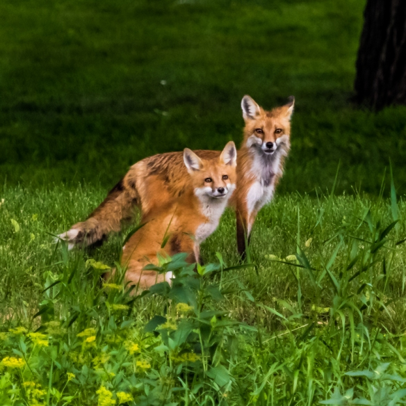 red fox and kit-