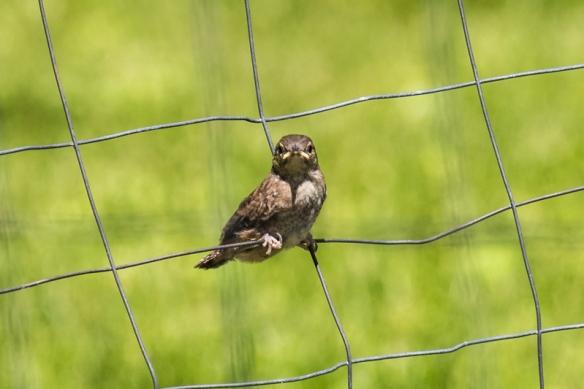 house wren fledgling-