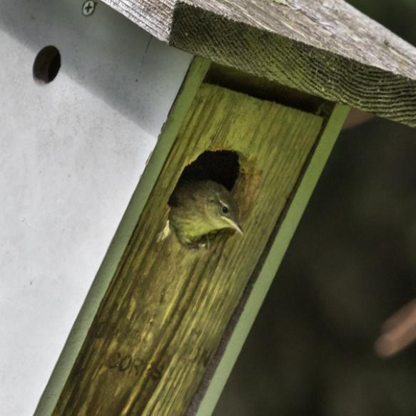 house wren nestling-
