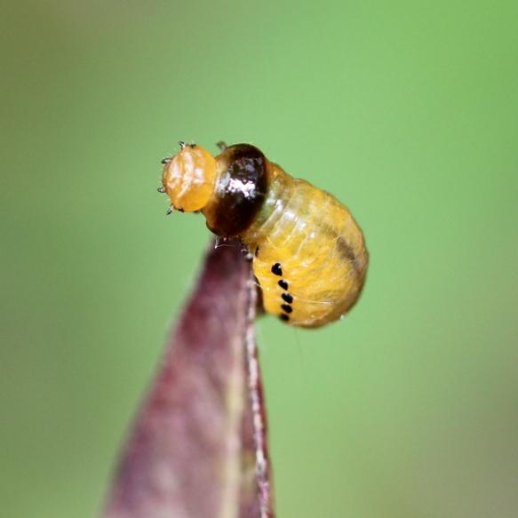milkweed leaf beetle larva-pre-pupa-