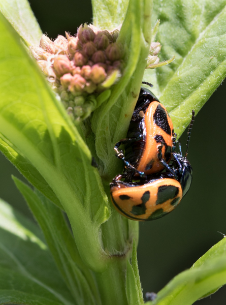 milkweed leaf beetle mating on swamp milkweed-