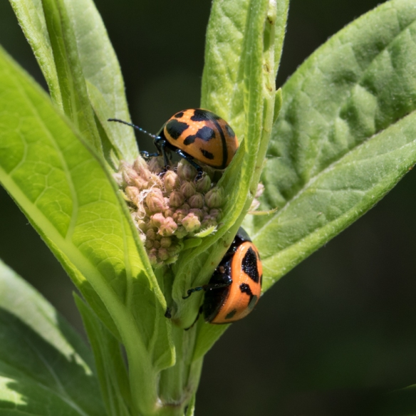 milkweed leaf beetles mating on swamp milkweed-