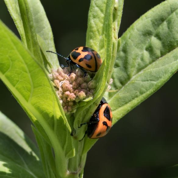 milkweed leaf beetles mating on swamp milkweed-