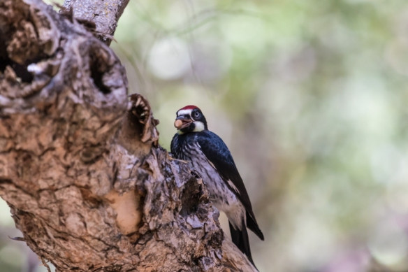 Acorn Woodpecker storing an acorn