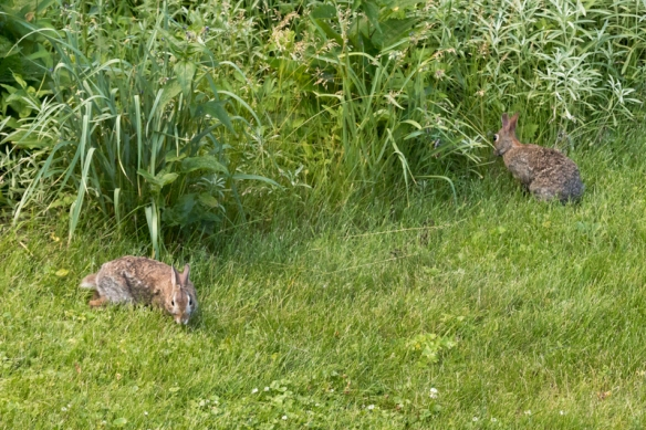 rabbits in the garden-