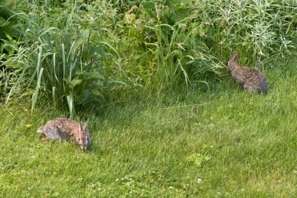 rabbits in the garden-