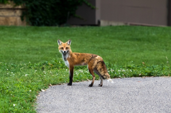red fox adult-