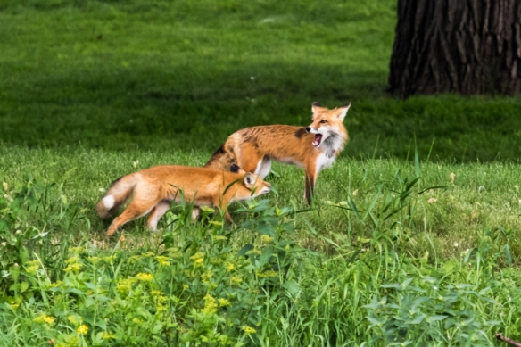 red fox adult and kit-