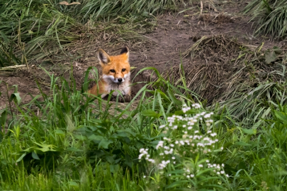 red fox kit emerging from its den