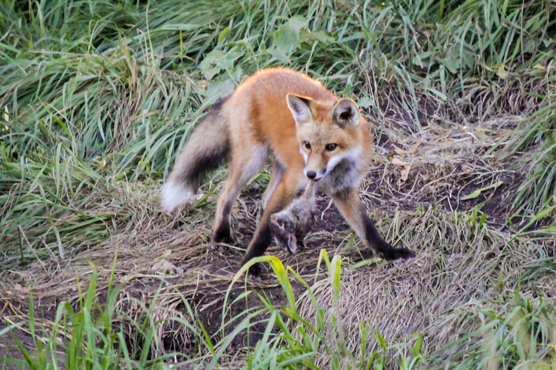 Red Fox redux — or why I miss the foxes in my backyard ...