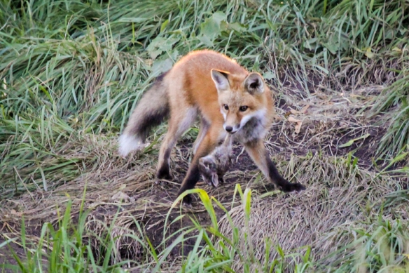 red fox kit with rabbit-