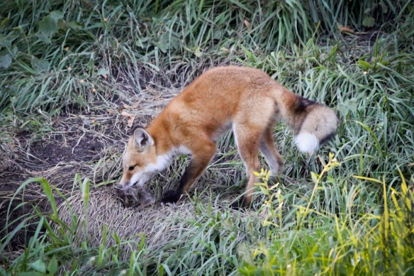 red fox redux or why i miss the foxes in my backyard back yard biology. Black Bedroom Furniture Sets. Home Design Ideas