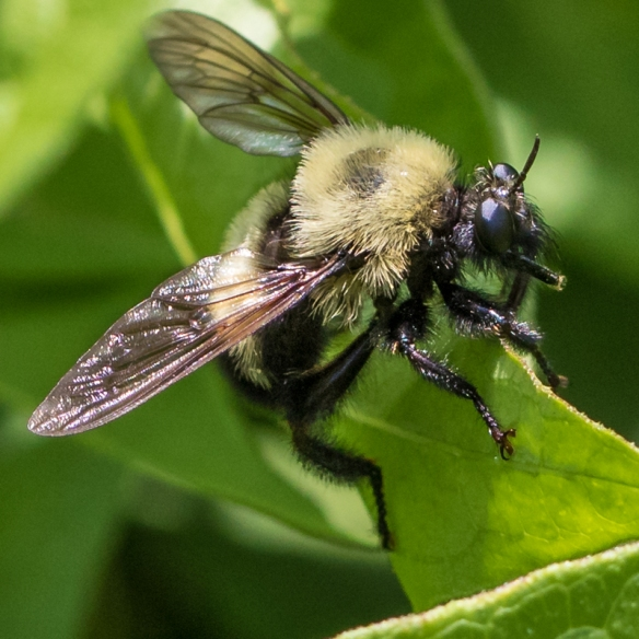 Another bee mimic | Back Yard Biology