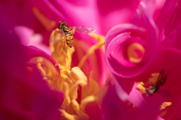 syrphid fly eating peony pollen
