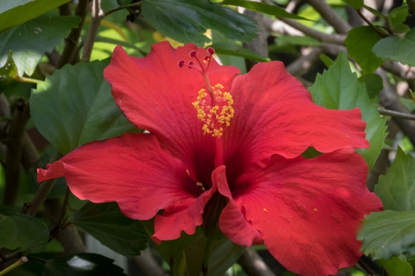 red hibiscus flower-