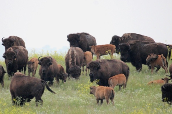 Bison at Cross Ranch, Washburn. North Dakota