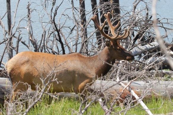 Elk in Yellowstone Lake