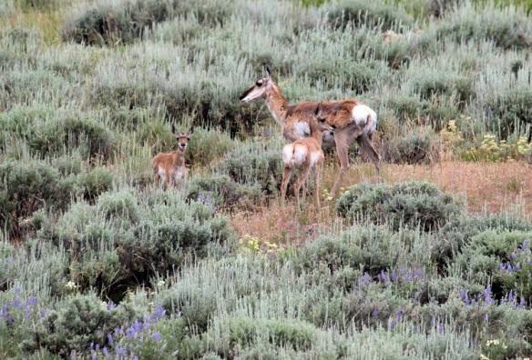 Pronghorn Antelope, western Wyoming