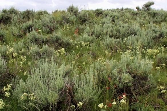Sagebrush wildflowers