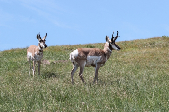pronghorn bucks-