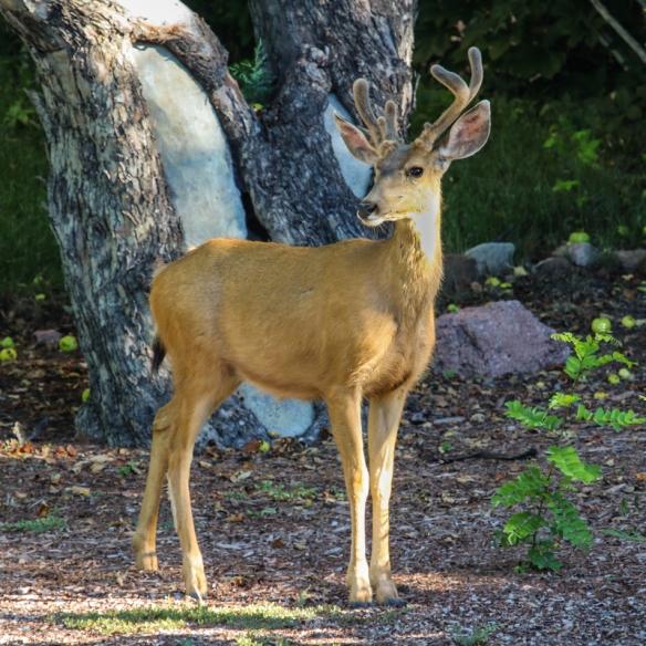 mule deer buck, bishop's lodge, santa fe, new mexico-