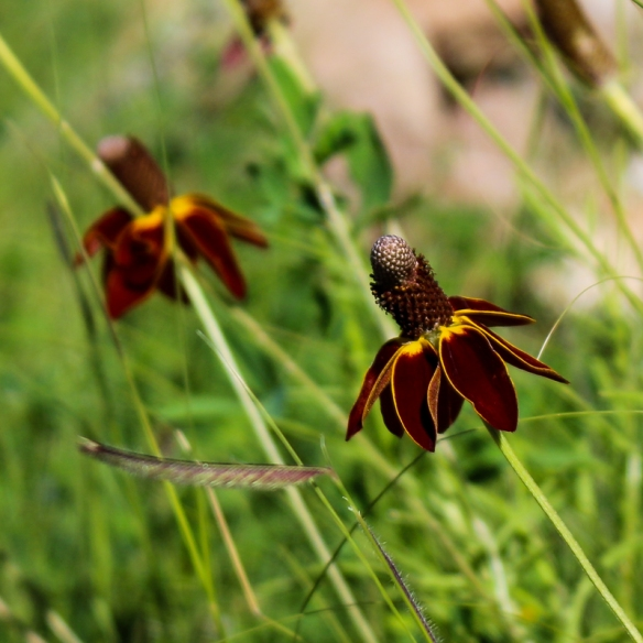 Mexican hat or Upright Prairie Coneflower