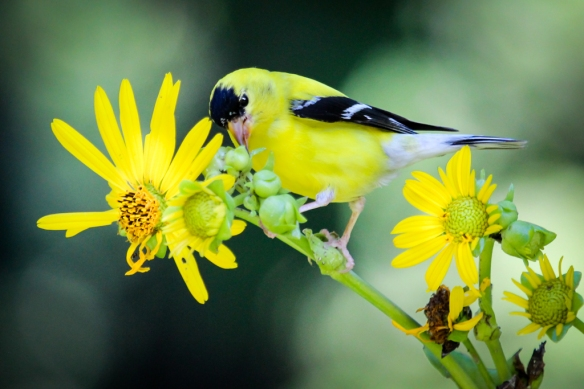 goldfinch foraging on cup plant