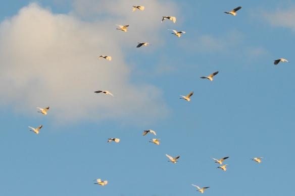 great white egret-flock