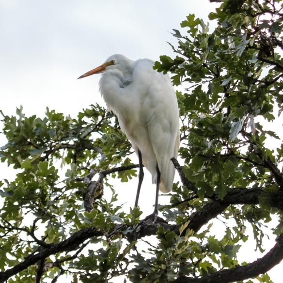 great white egret-