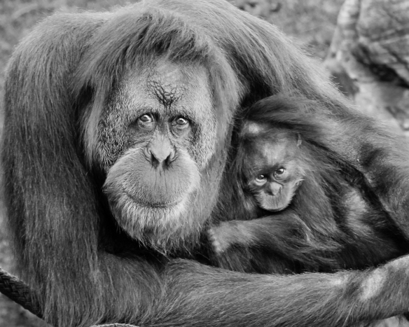 orangutan mom and baby-