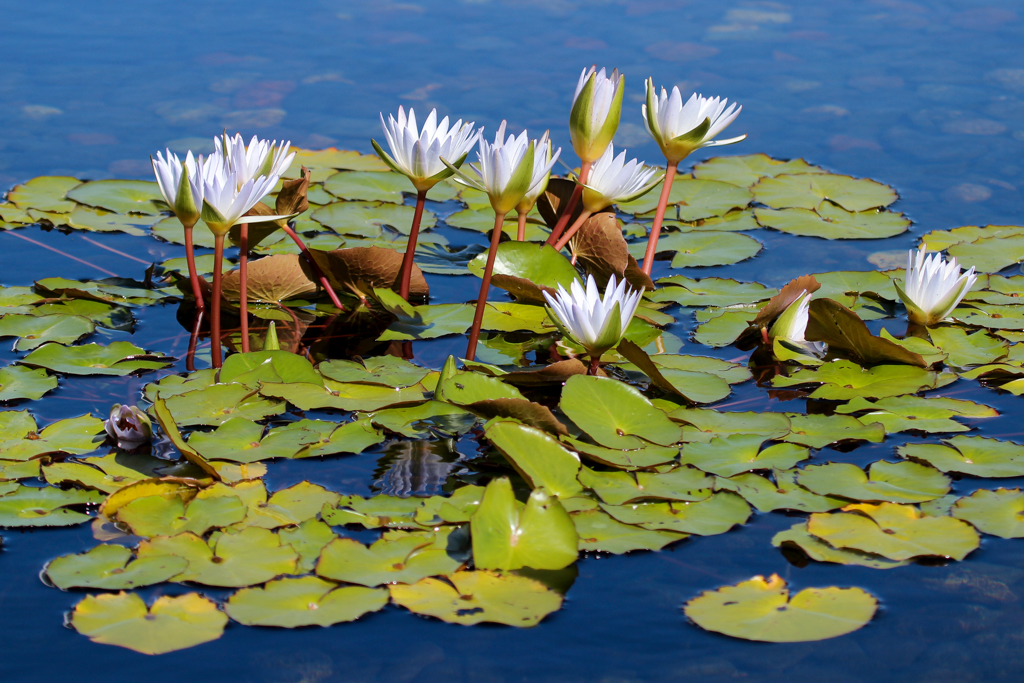water lily adaptations | Back Yard Biology