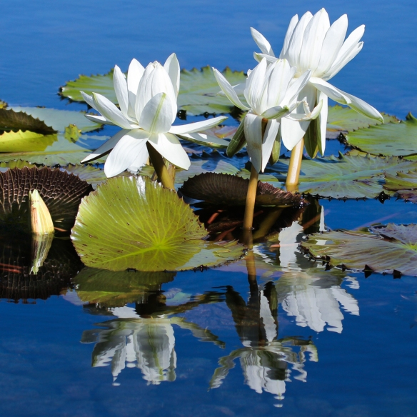 water lilly-como park-