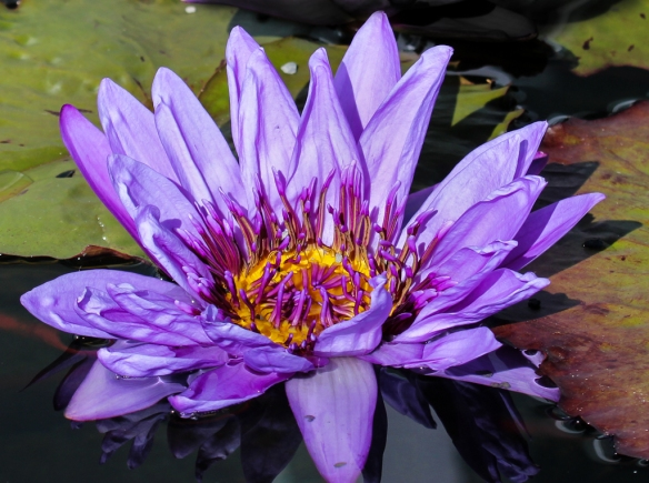 water lily-como park-