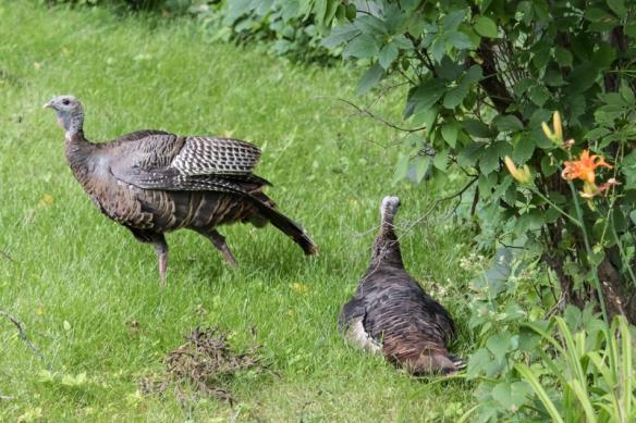 wild turkey males