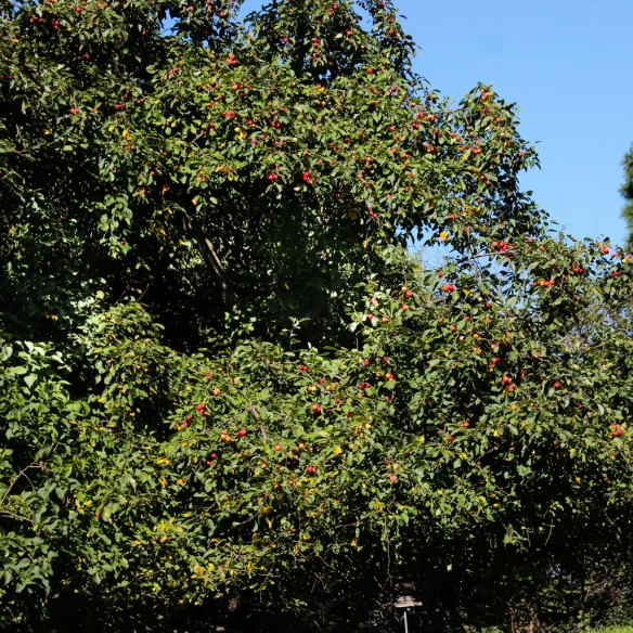 apple tree-loaded with fruit