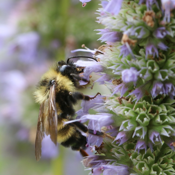 bumblebee on Giant Hyssop