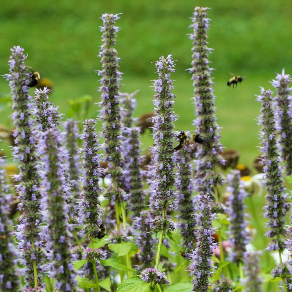 bumblebees-on Giant Hyssop