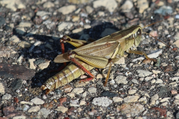 female two-striped grasshopper abdomen