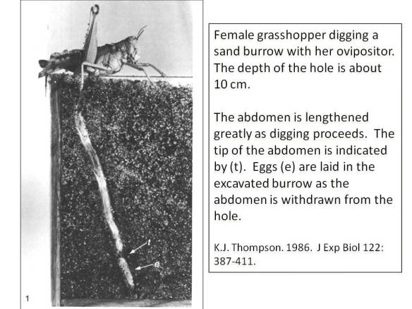 female grasshopper laying eggs in burrow-Thompson 1986
