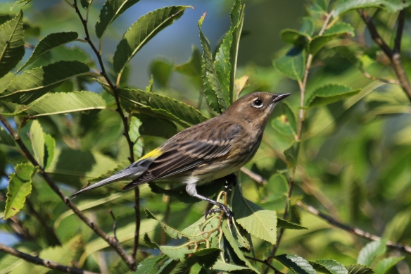 female or juvenile yellow-rumped warbler-