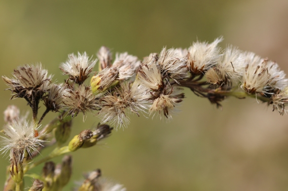 canada goldenrod seed head
