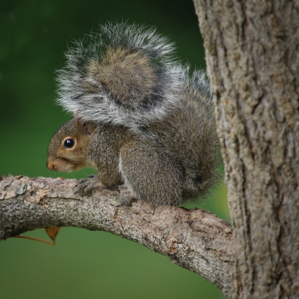 gray squirrel-