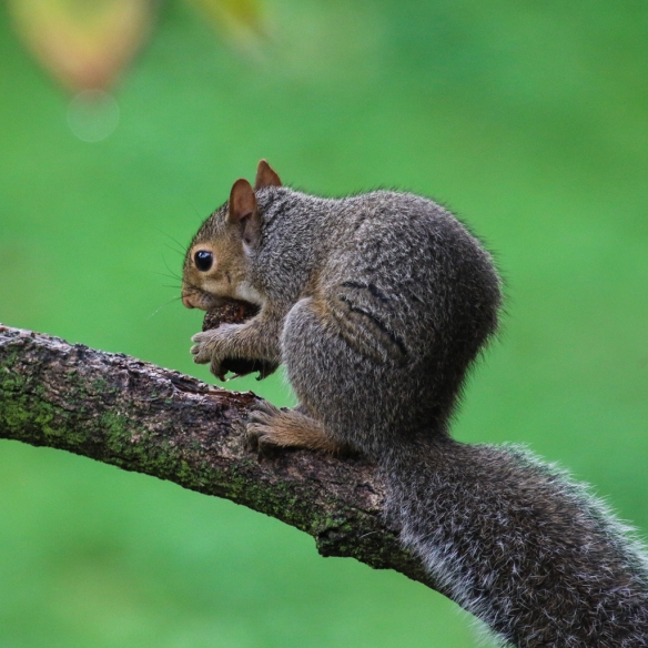 gray squirrel eating buckeye nuts